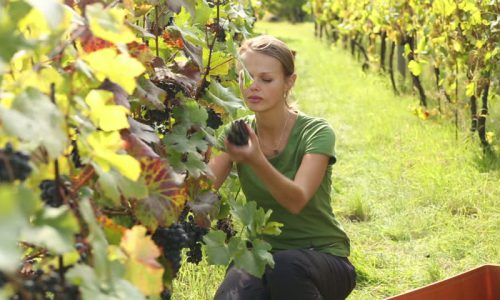 Dall'uva al vino e degustazione-Ginosa-2