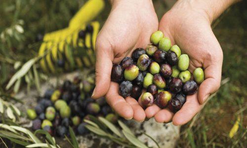dalle-olive-allolio-Ginosa-3